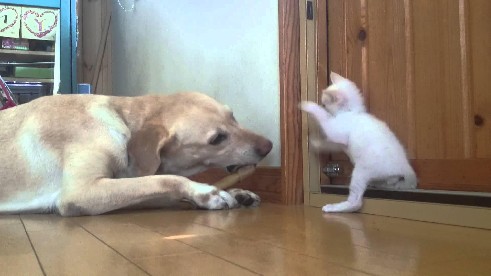 それなーに?気になる子猫とラブラドールレトリバー(*´ω`*)