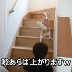 階段が登れて嬉しくなったビーグルちゃんが無邪気すぎる♡