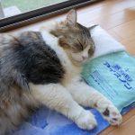 アイス枕でひんやり快適〜♡な猫ちゃん