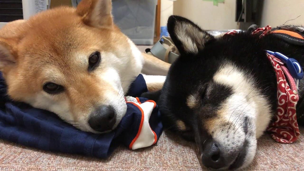 スヤスヤzzZ柴犬たちの寝顔に癒やされちゃう♡