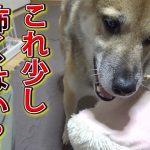 柴犬たちのおもちゃ選びタイム♡二匹が選んだのは・・・?