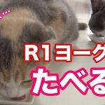 猫ちゃんたちのヨーグルト争奪戦?コラー!いけませーん(・∀・)