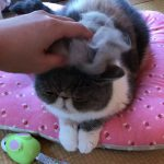 カツラかぶせてみた?抜け毛を乗っけた猫ちゃんが激カワ♡