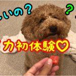 プードルちゃんがスイカをむしゃむしゃ♡うーん美味しい〜(*´ω`*)