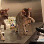 シンガプーラたちが掃除機に勇気を出して猫パーンチ♡!