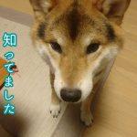 飼い主さんに注意された柴犬ちゃんがシュンとしちゃって可愛い(^q^)