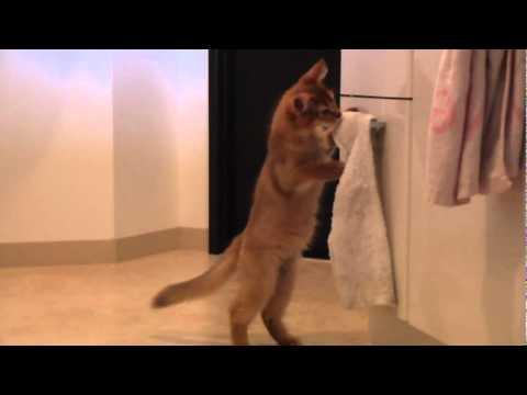 タオルを運ぶいたずらっ子な子猫ちゃん♡