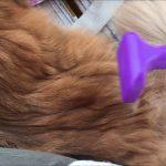 気持ちいいくらいゴッソリ抜け毛が取れる猫ちゃん(*´ω`*)