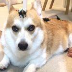 コーギーちゃんの頭の上に乗っているのはカ、カブトムシ〜!?