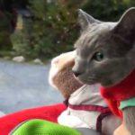 猫ちゃんたちが人力車に乗って京都旅行をしたよ♡