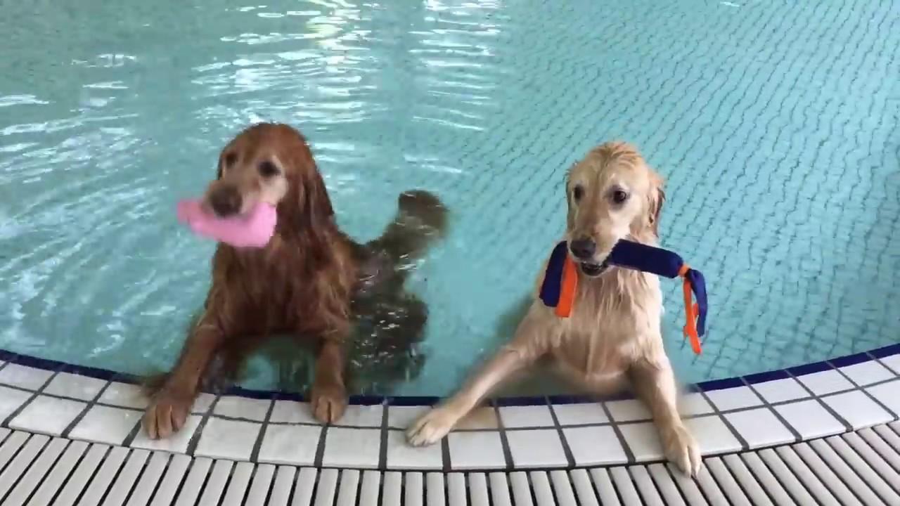 温水プールで思いっきりはしゃぐゴールデンレトリバーが可愛い♡