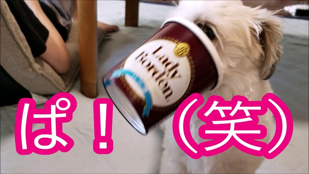アイスの箱に顔ずっぽし!!なシーズーちゃんが可愛すぎる♡