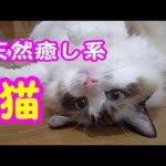 そんなにくつろいじゃう?足をパッカーンな猫ちゃんが可愛すぎる!!