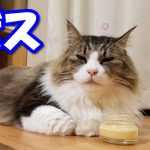 猫用プリンを高速ペロペロする猫ちゃん♡