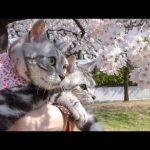 春が恋しくなる!猫ちゃんとお花見動画♡