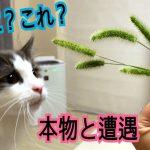本物の猫じゃらしに興味津々な猫ちゃん♡