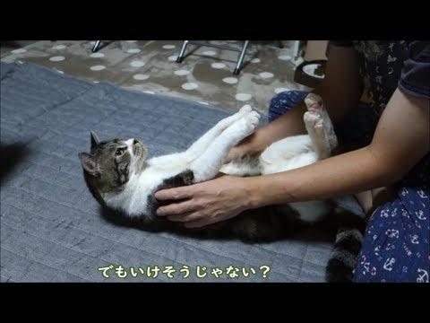 キュンキュン!されるがままの猫ちゃんが可愛すぎる件♡