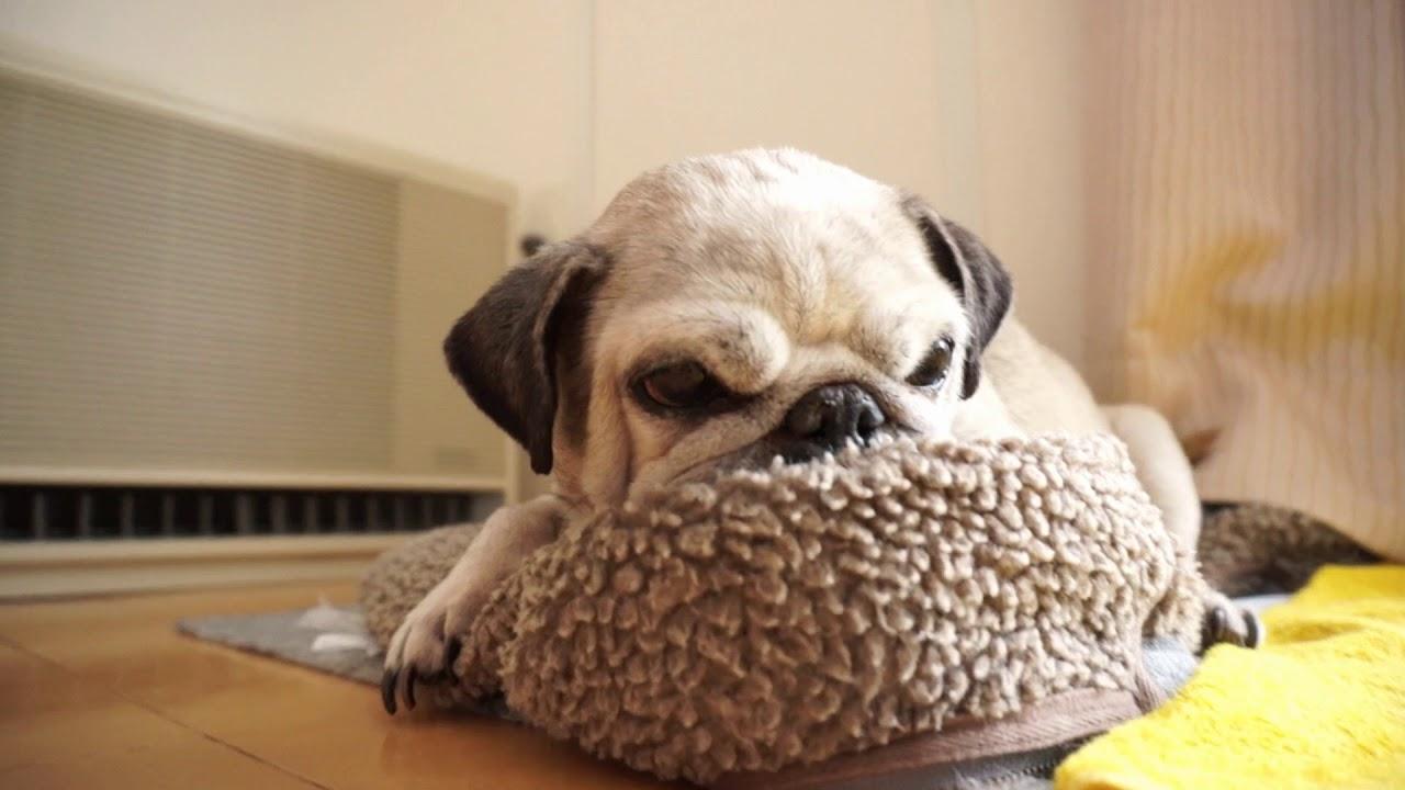 素敵な枕をゲットしたパグちゃん♡
