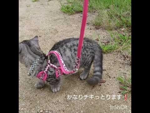 ドキドキ!初めてのお散歩に挑戦なマンチカンの子猫ちゃん♡