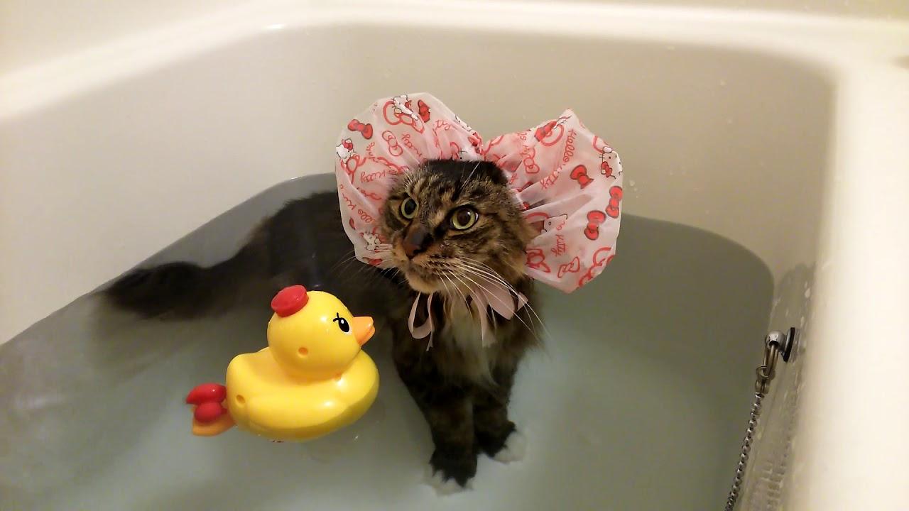 お風呂大好き猫ちゃんがアヒルのおもちゃとバスタイム♡