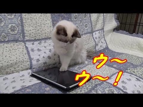 ラグドールちゃんが猫アプリにびっくり!♡