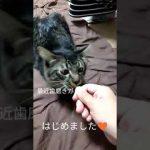 メインクーンの子猫ちゃんは歯磨きガムに夢中〜♡