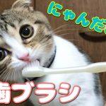 歯磨き大好き♡スコティッシュフォールドの子猫ちゃん!
