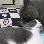 ウットリ〜♡猫ちゃんたちが仲良く毛づくろい(*´ω`*)