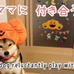 ハロウィン仮装の柴犬ちゃん、なんとも言えない表情が面白すぎる!♡