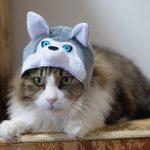 可愛すぎる!!猫ちゃんがシベリアンハスキーに大変身?♡