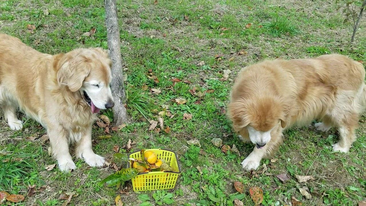 秋の味覚柿に喜ぶゴールデンレトリバーたち(*´ω`*)