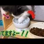 違うソレ、飲水だから〜!!ご飯の前にオテテを洗う猫ちゃん♡