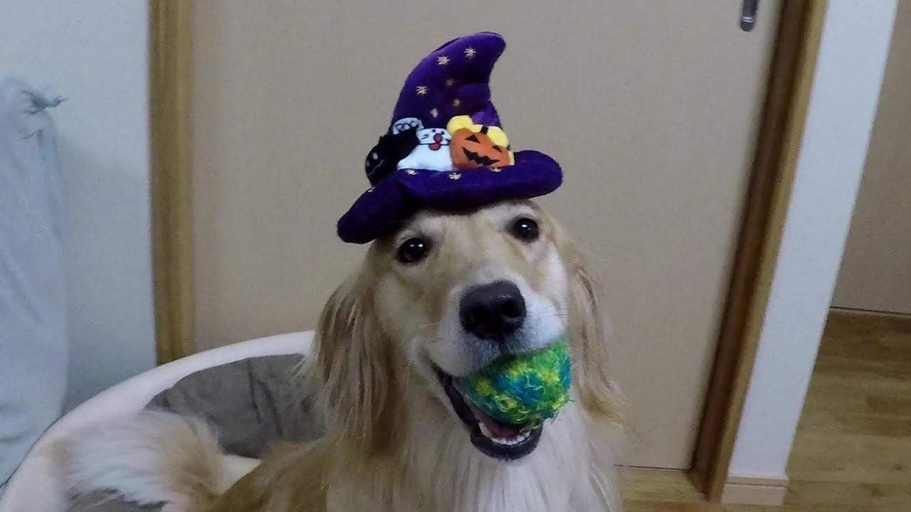 ハロウィン大好き?♡魔女っ子ゴールデンレトリバー!