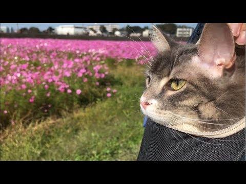 猫ちゃんが一面ピンクのコスモス畑にでかけたよ♡