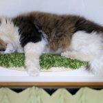 ほそーいキャットウォークで眠る猫ちゃんが器用過ぎる件。