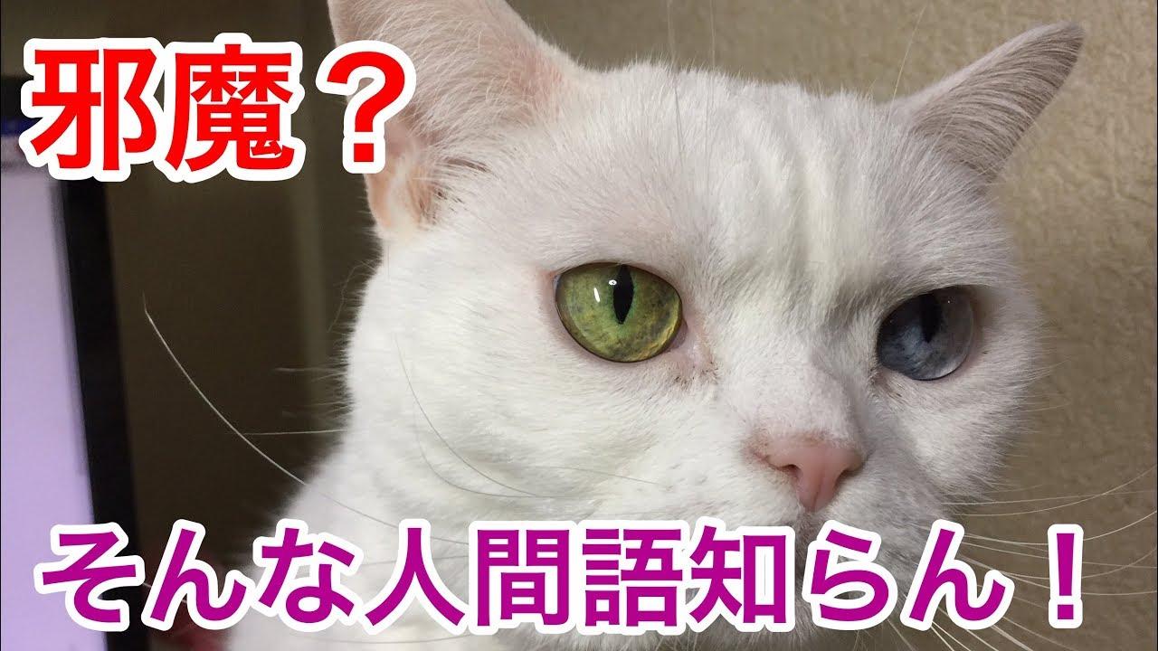 どうして〜!?パソコンを邪魔する猫ちゃんにキュン♡