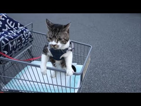 ショッピングカートを乗りこなす猫ちゃんが可愛すぎる♡