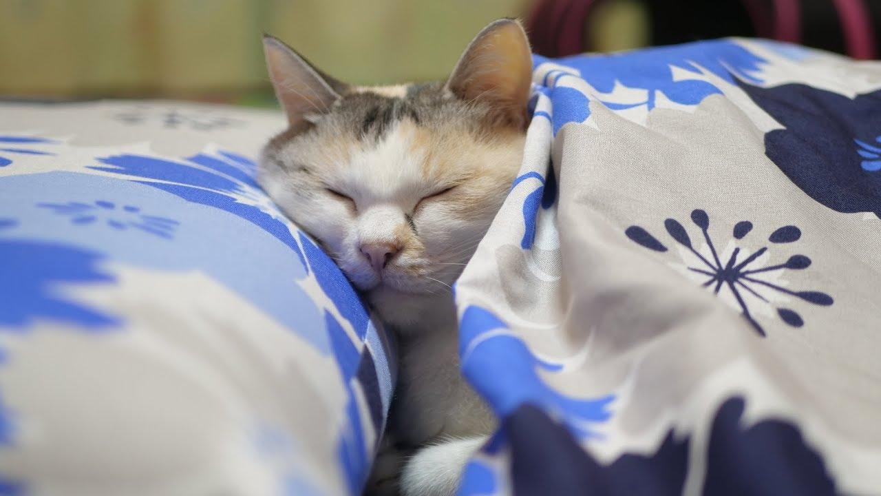 お布団の中から顔を出す三毛猫ちゃんがまるで人間みたい!?♡