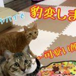 最強のおもちゃで猫ちゃんが大暴走!?ちょっと待って遊び方違うから〜!♡