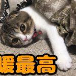 床暖房にとろける〜♡スコティッシュフォールドちゃん(*´ω`*)