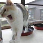 フライパンよりも箱のほうが三毛猫ちゃんにとっては重要で!?♡