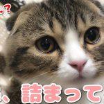 猫ちゃんもお鼻がつまる!?風邪気味スコティッシュフォールドちゃん(´・ω・`)