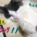 ブラッシング中のノルウェージャンフォレストキャットちゃんがウットリ〜♡