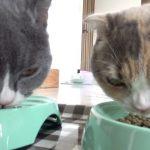ご飯に釘付け!ムシャムシャ頬張る猫ちゃんたち♡