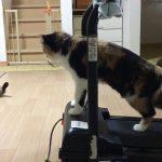 凄技!ルームランナーを使いこなす三毛猫ちゃん♡