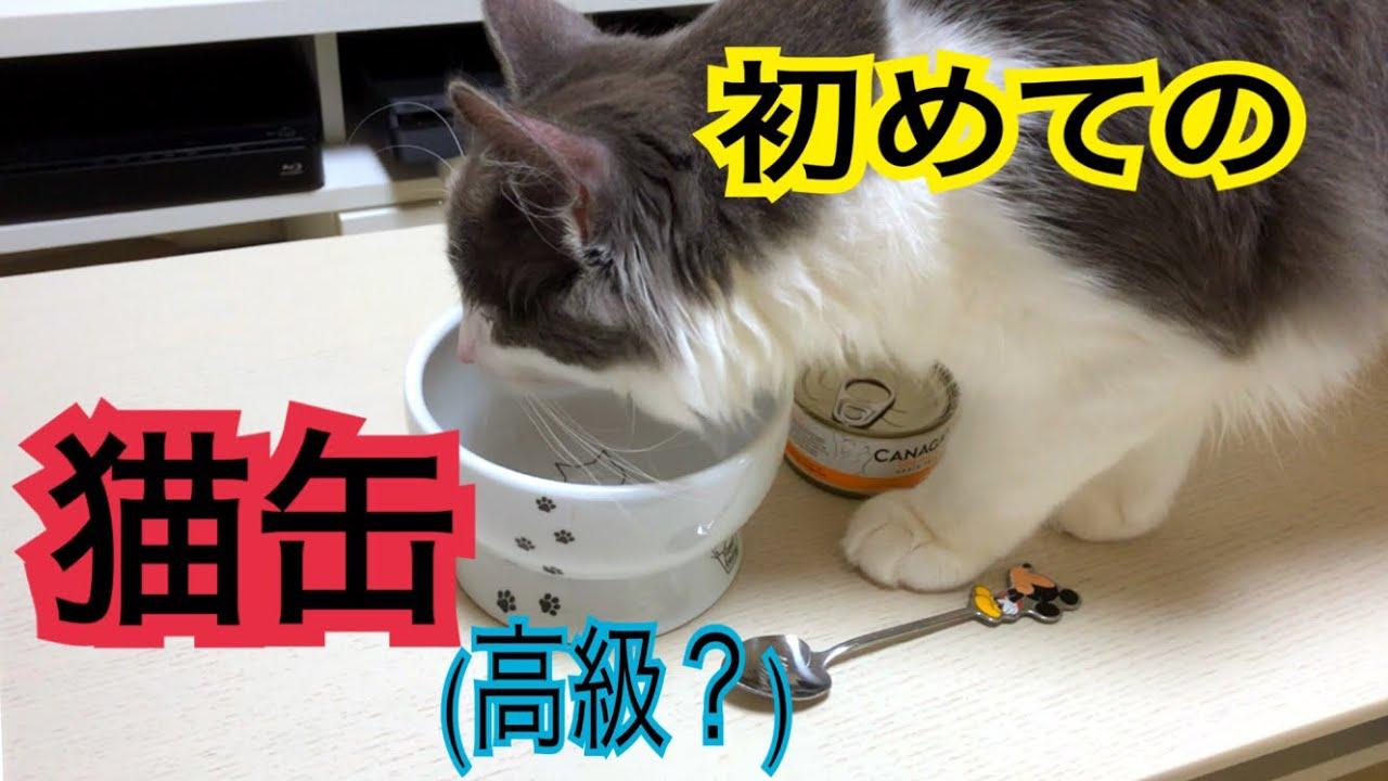 初めての猫缶に感動!なノルウェージャンフォレストキャットちゃん♡