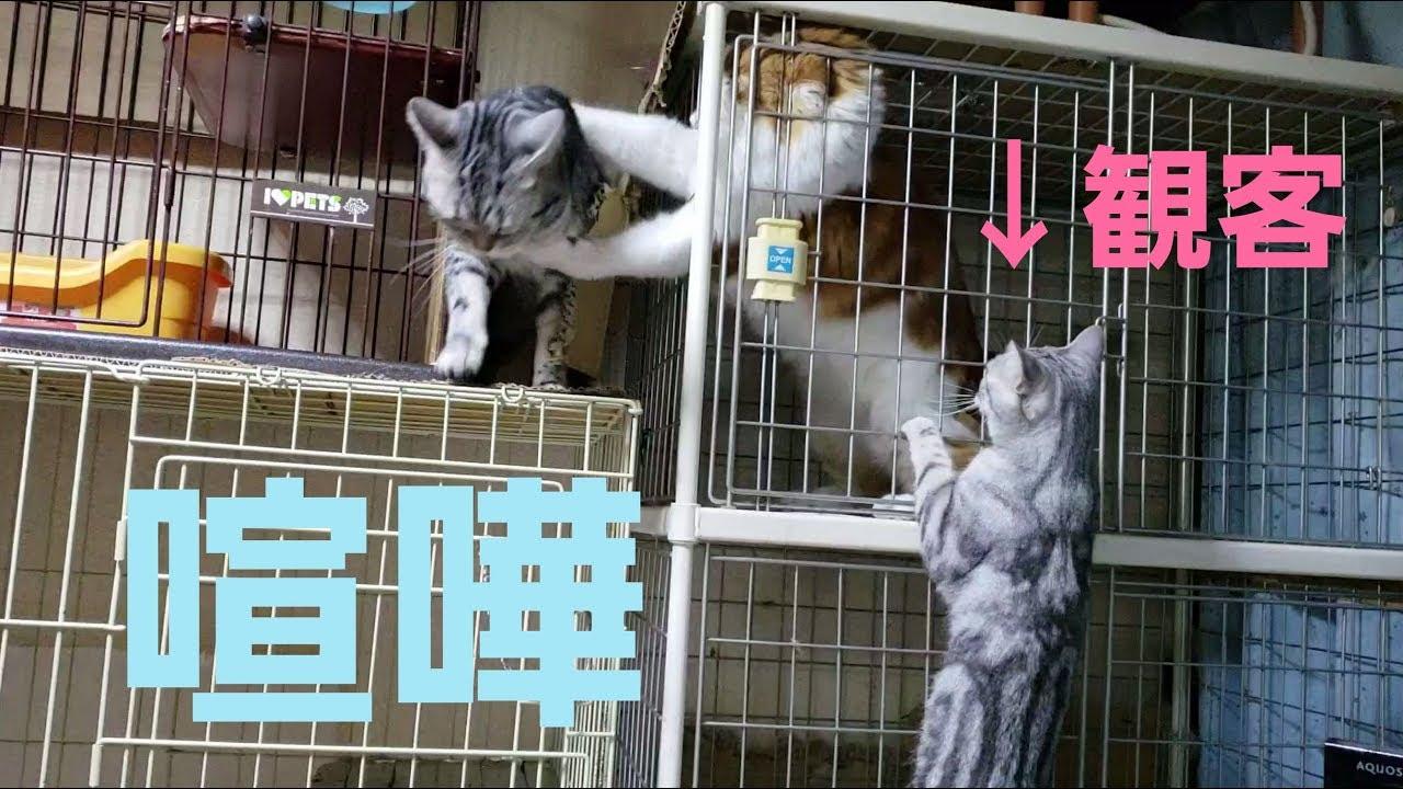 喧嘩が始まると現れる、猫ちゃんのちょっと変わった趣味はノ・ゾ・キ・見♡