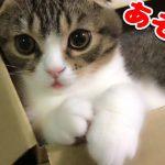 ダンボールから構って〜?とじゃれてくる子猫ちゃんが可愛すぎて悶絶っ!♡