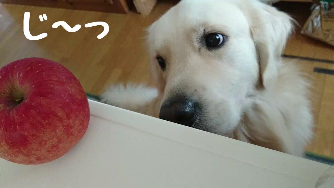 りんご食べる?にお目々キラーンなゴールデンレトリバーちゃん♡