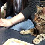「一緒に食べたい〜!」キムチ鍋に興味津々すぎる子猫ちゃん♡